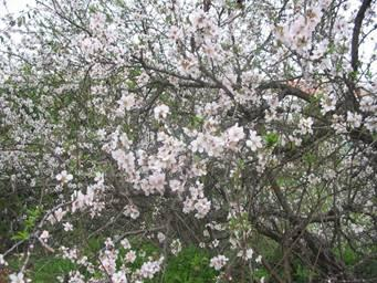 """My"" almond tree, the shkedia, in blossom"