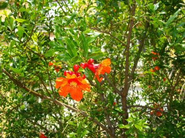 Flowers of the pomegranate tree