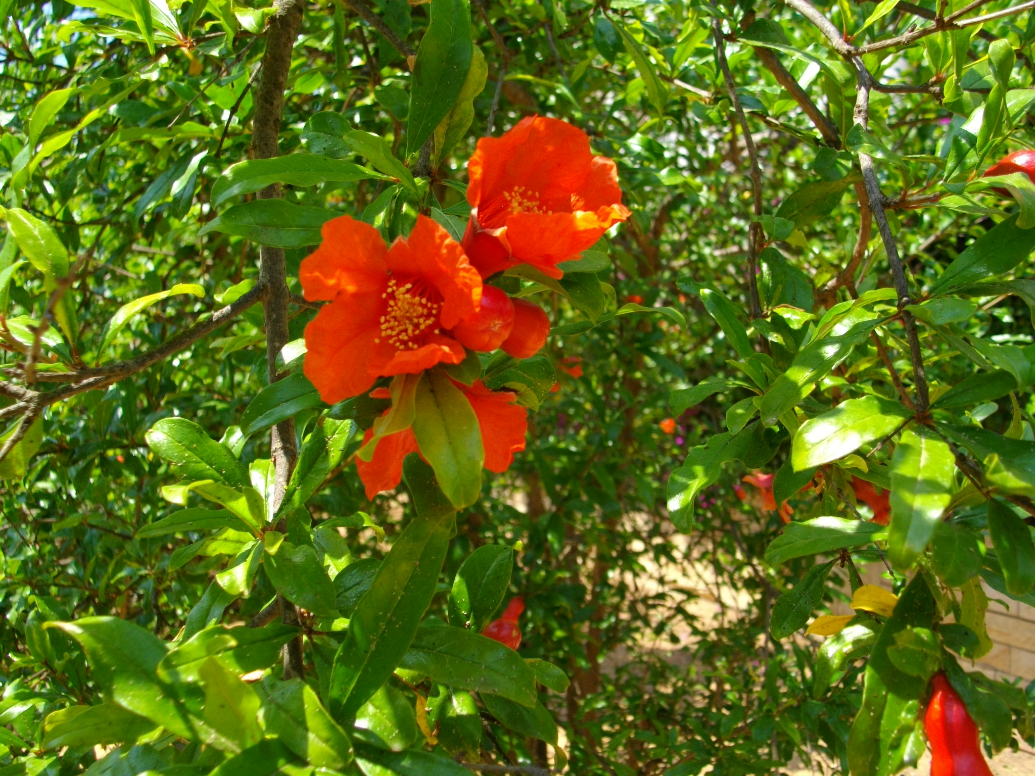 pomegranate tree in bloom