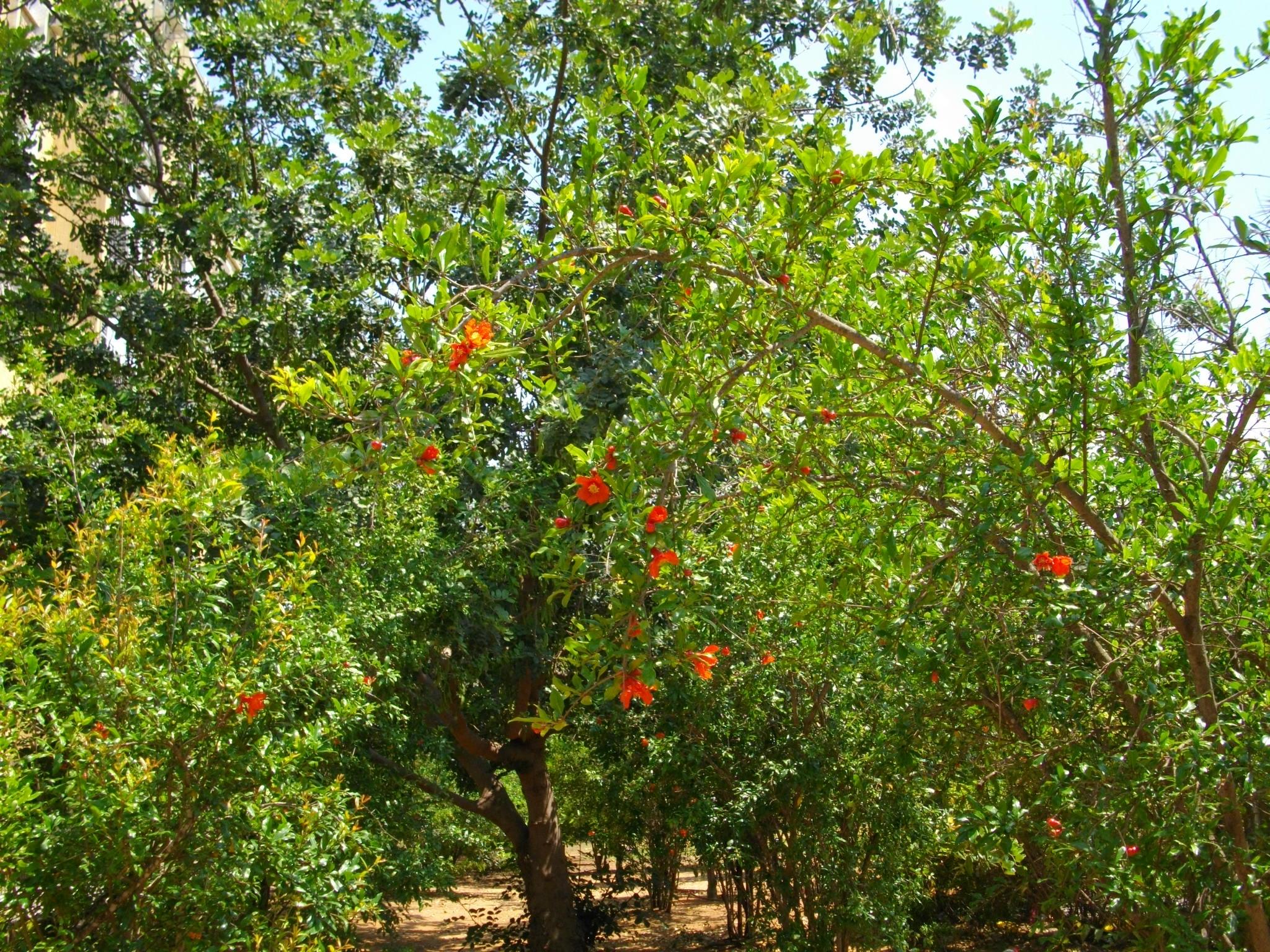 Pomegranate+bushes