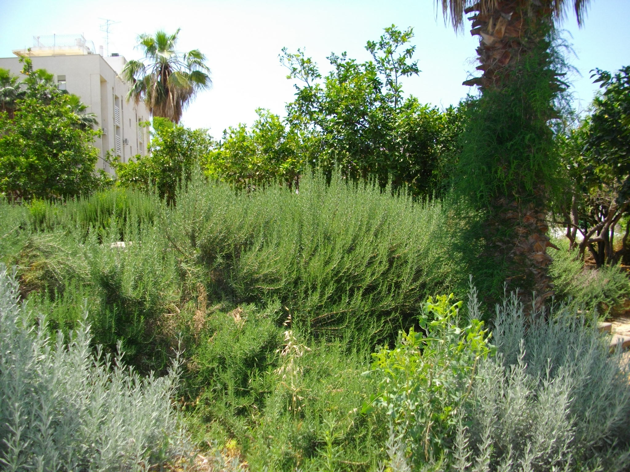Rosemary Bush in Landscape Rosemary And Lavender Bushes