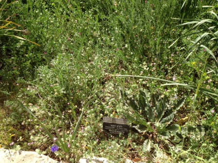 Mandrakes - dudaim
