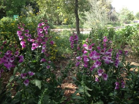 Digitalis Purpurae